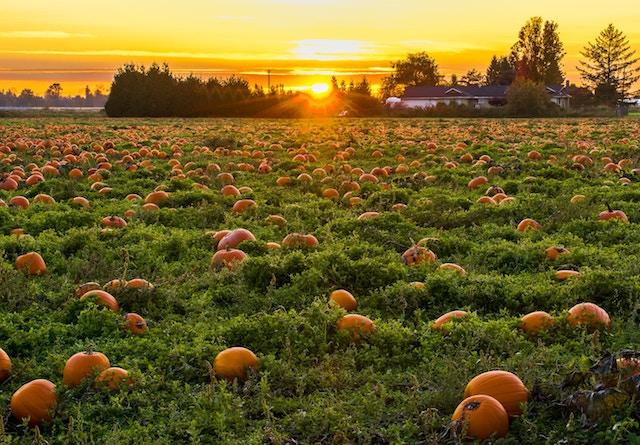a pumpkin patch at sunset.